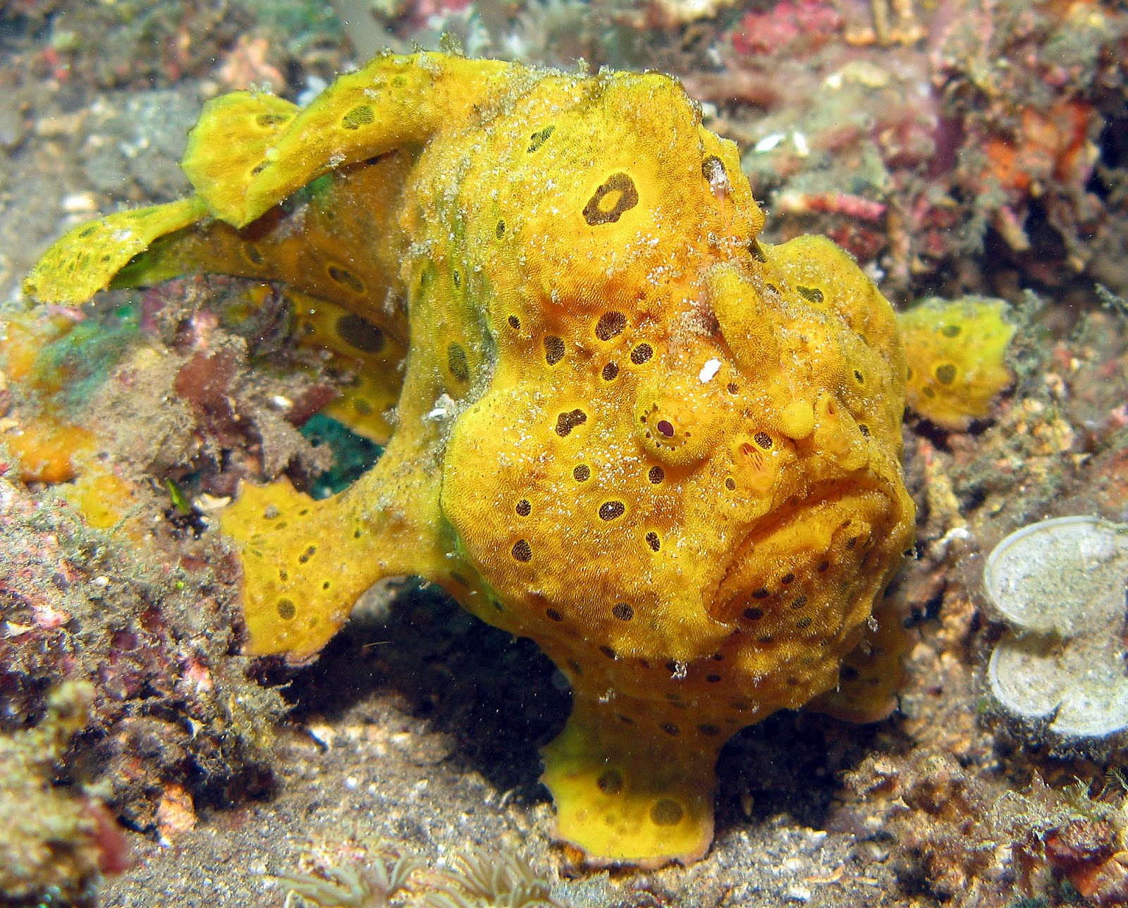 Giant Frogfish can be seen everywhere - giant, painted and clown frogfish are routinely seen alongside just about the entire scorpion fish family